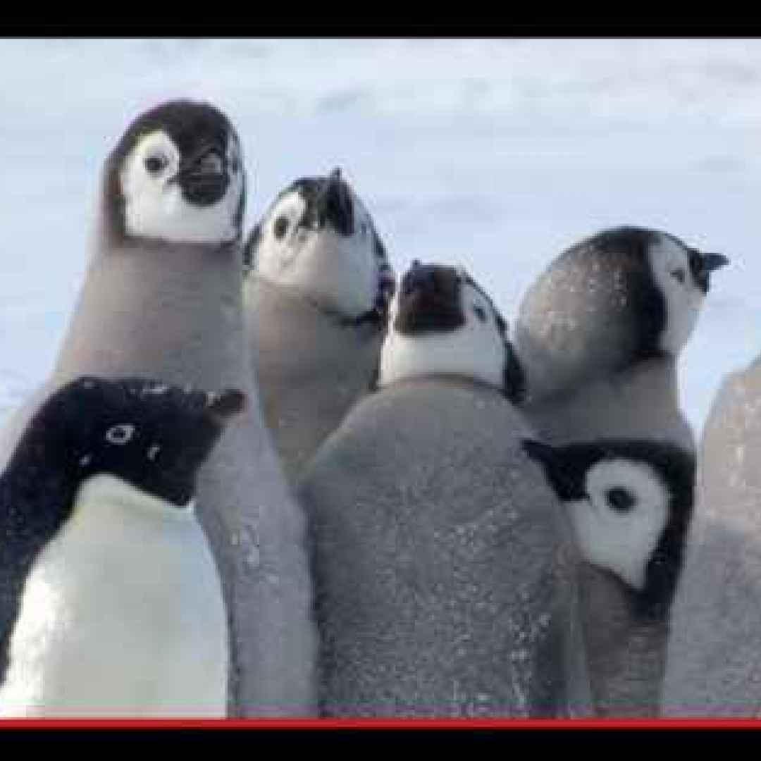 animali  pinguini  antartide  battaglie