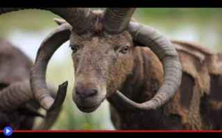 Animali: animali  razze  pecore  fattoria  man