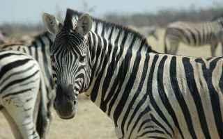 Animali: zebre  africa