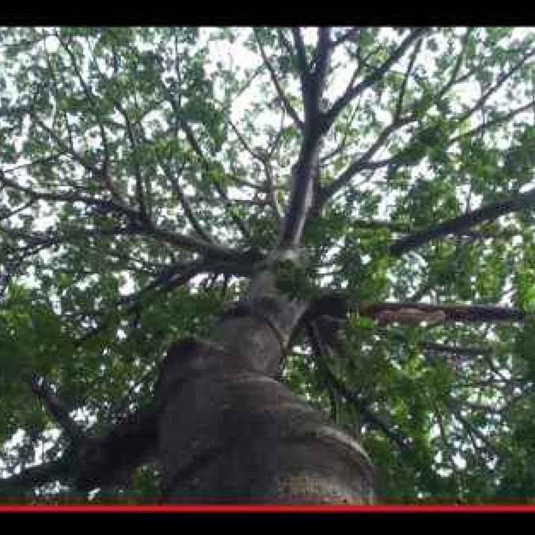 alberi  vegetali  caraibi  africa