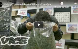Salute: marijuana legale video cannabis italia