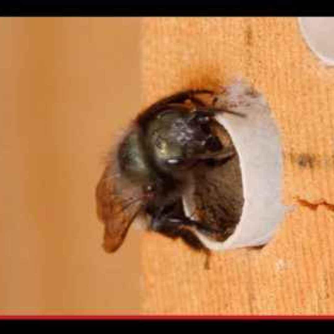 insetti  imenotteri  api  tubi