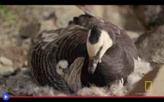 Animali: animali  uccelli  oche  settentrione