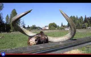 Animali: animali  razze  bovini  mucche  tori