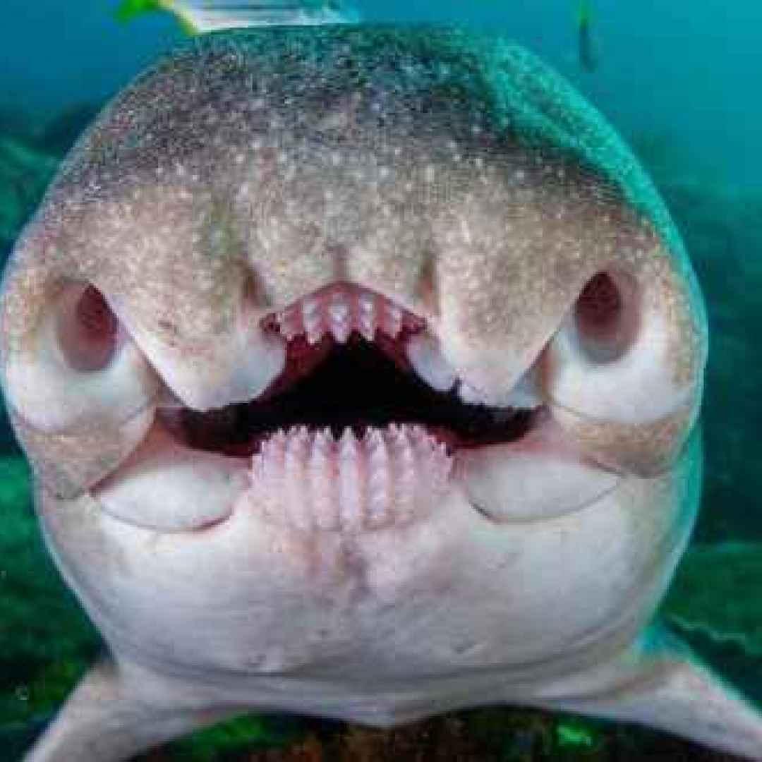animali  pesci  squali  australia