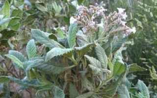 Medicina: morbo-alzheimer  farmaci  yerba-santa