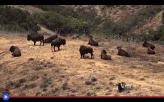 dal Mondo: animali  usa  california  bisonti