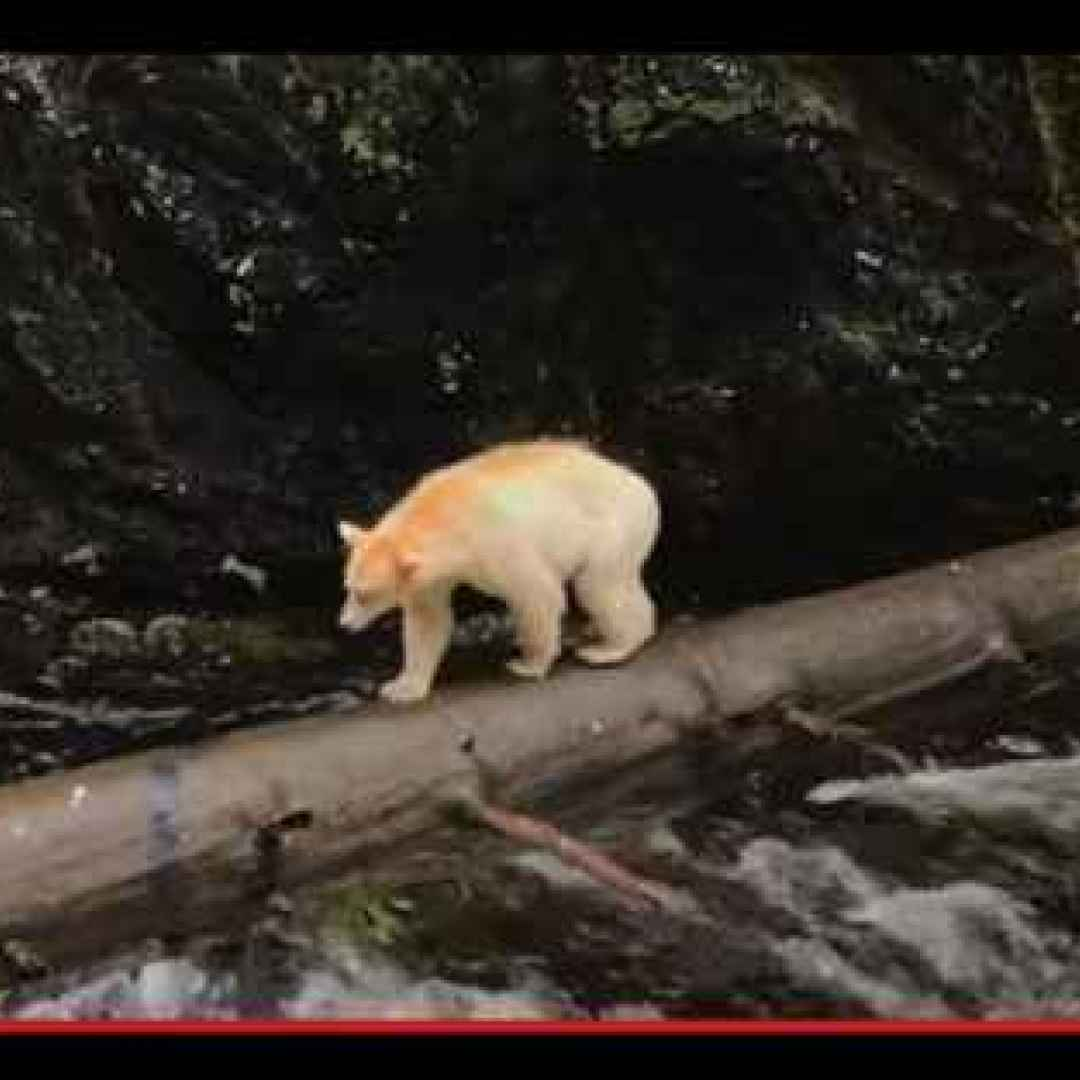 animali  orsi  canada  genetica