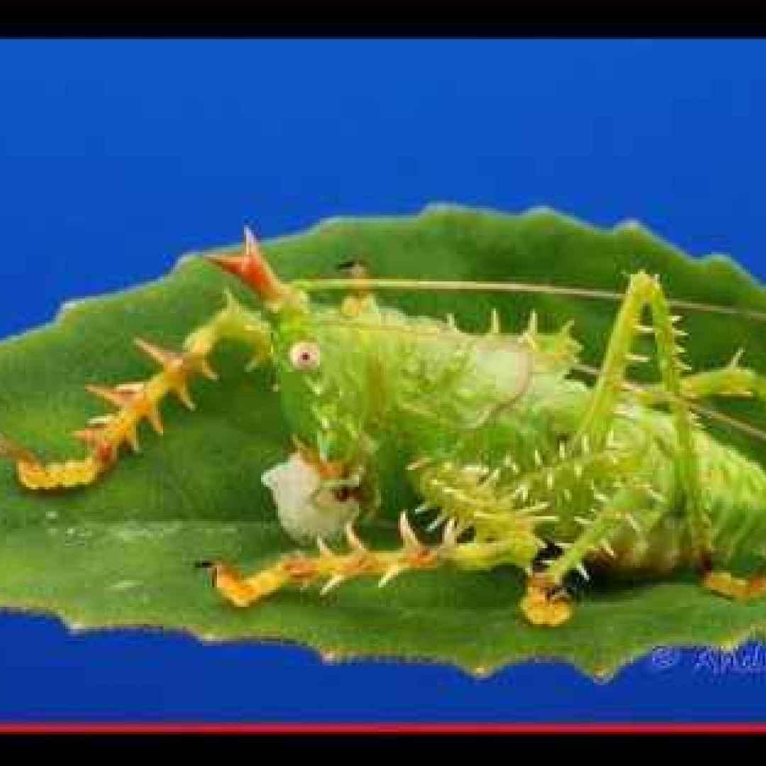 animali  insetti  cavallette  ecuador