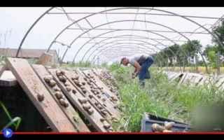 Gastronomia: allevamento  agricoltura  lumache
