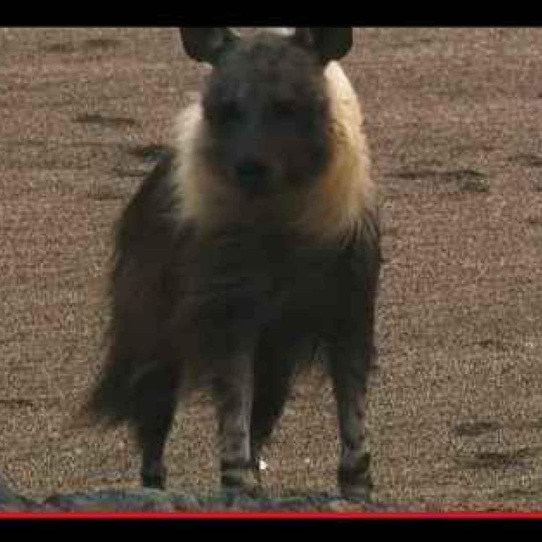 animali  carnivori  iene  sudafrica