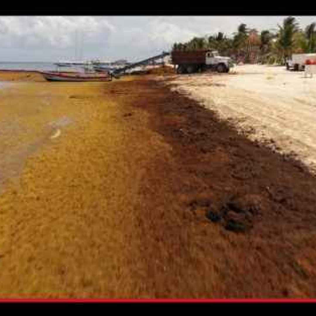 ambiente  ecologia  alghe  caraibi