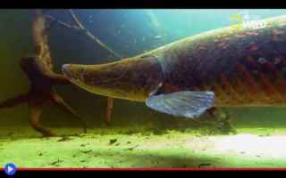 Animali: pesci  foresta  amazzonia  brasile
