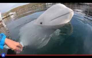 Animali: animali  beluga  norvegia  russia