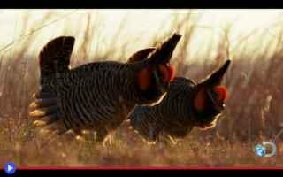 animali  uccelli  fasianidi  stati uniti