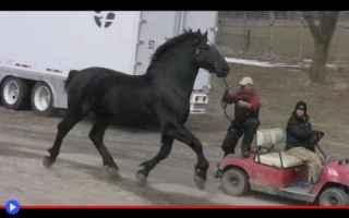animali  cavalli  razze  allevamento