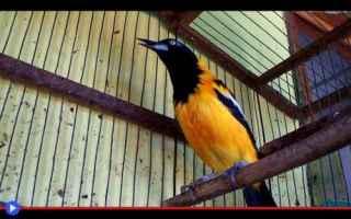 animali  uccelli  sudamerica  simbolo