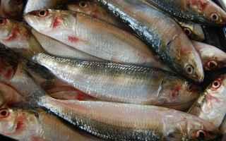 Animali: sardine  pesce  emilia romagna