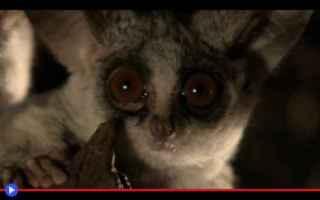 Animali: animali  scimmie  proscimmie  galagidi