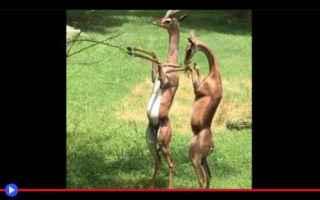 animali  antilopi  bovidi  strano