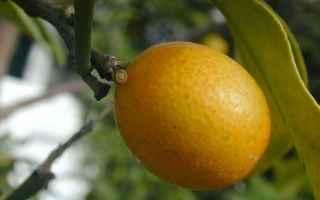 mandarino cinese  frutti  cina