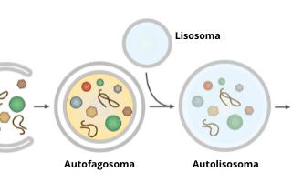 Salute: autofagia  autofagia cellulare