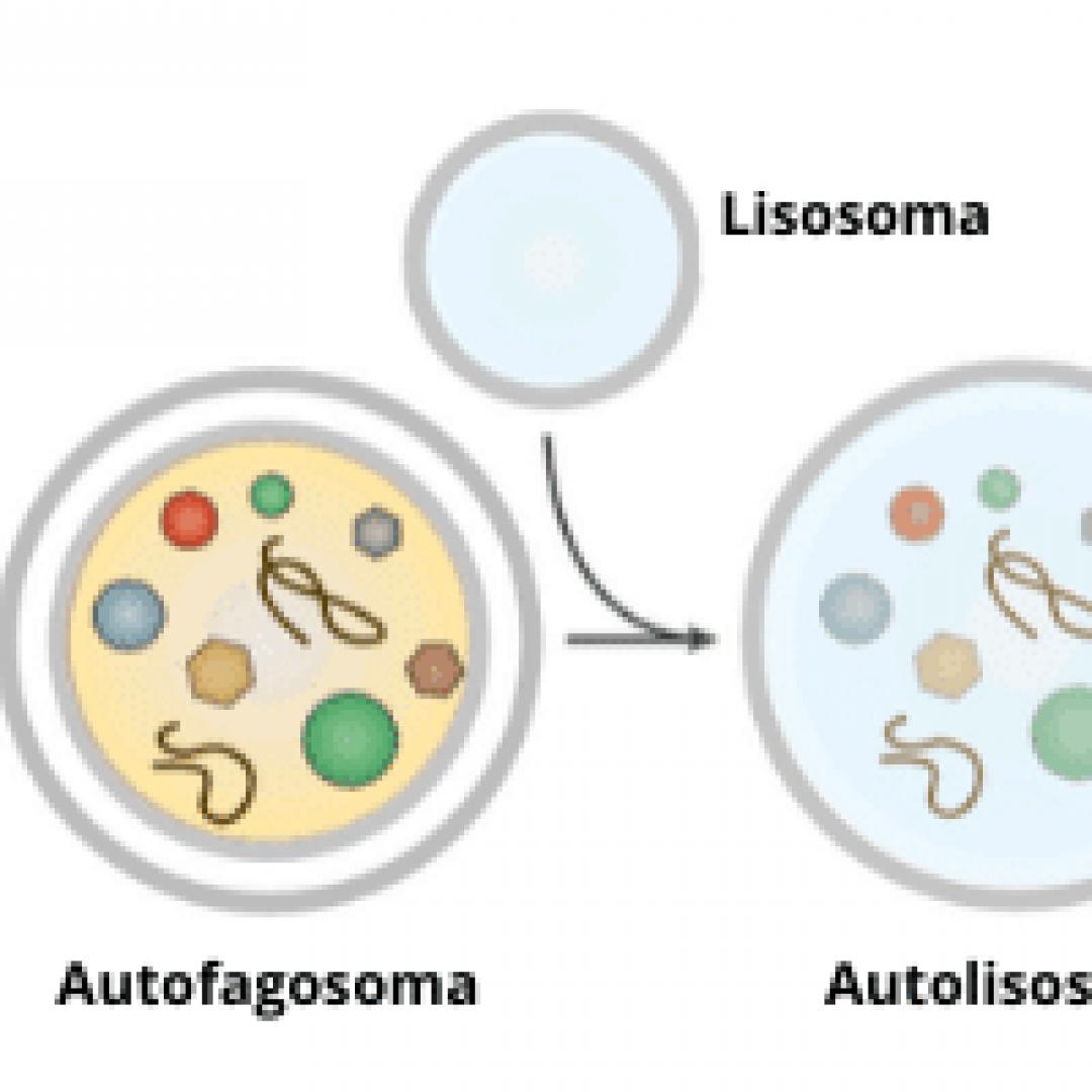 autofagia  autofagia cellulare