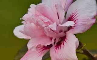 Prima di tutto cos'è lIbisco? È una pianta della famiglia delle Malvaceae, fiorisce senza pause