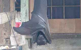 pipistrello  filippine  indonesia
