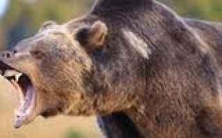 Psiche: orso  sogni  inseguimento  interpretazio