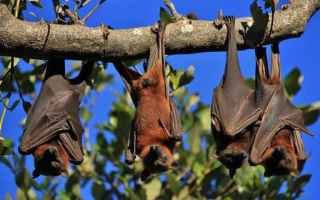 Animali: distanziamento sociale  pipistrelli