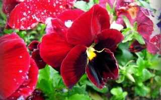 giardinaggio piante fiori limoni