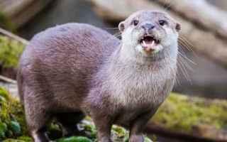 Animali: La lontra, vittima del bracconaggio
