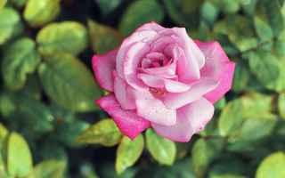 Cultura: flora  mitologia  palermo  rosa  zefiro
