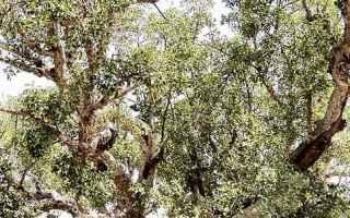 Cultura: fico  ficus sycomorus  iside